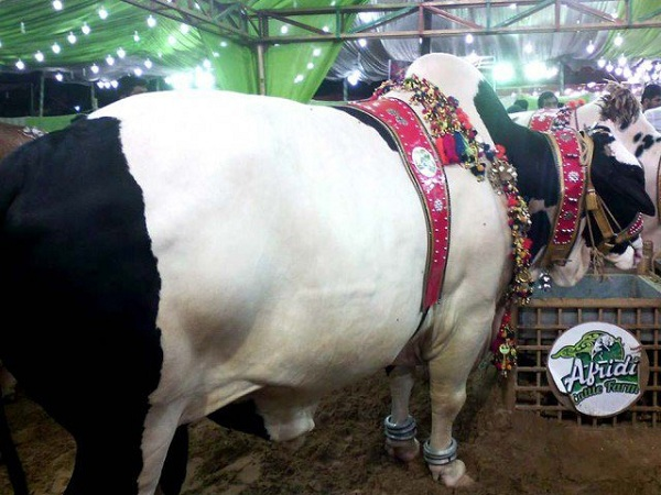 Top Ten beautiful cattle for Eid Ul Azha 2016
