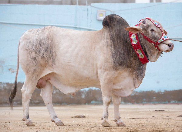 surmawala-farm-eid-ul-azha-2016-animal-23