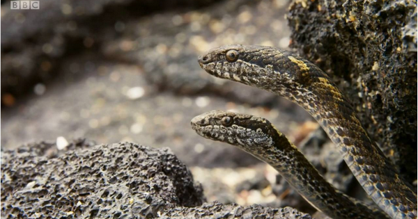 Video of Marine Iguanas fight for their lives against snakes